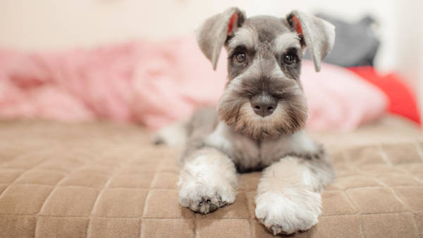 Photograph - Miniature Schnauzer Sitting On A Bed by Coolbiere Photograph