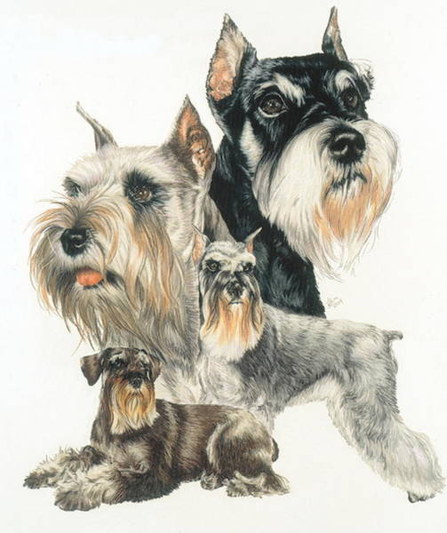 Drawing - Miniature Schuauzer by Barbara Keith