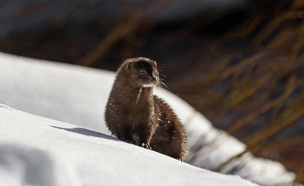 Photograph - Mink by Ronnie and Frances Howard