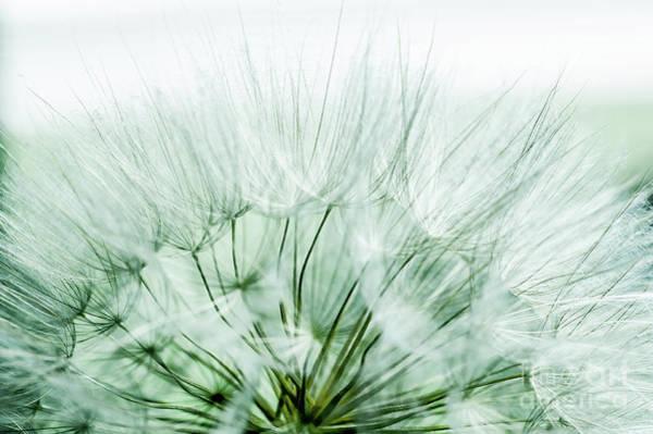 Wall Art - Photograph - Mint Dandelion by Iris Greenwell