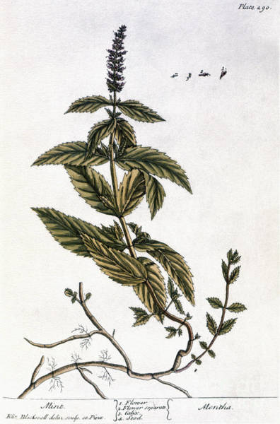 Photograph - Mint Plant, 1735 by Granger