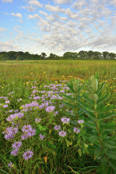 Photograph - Mints And Milkweed In Lakewood by Ray Mathis