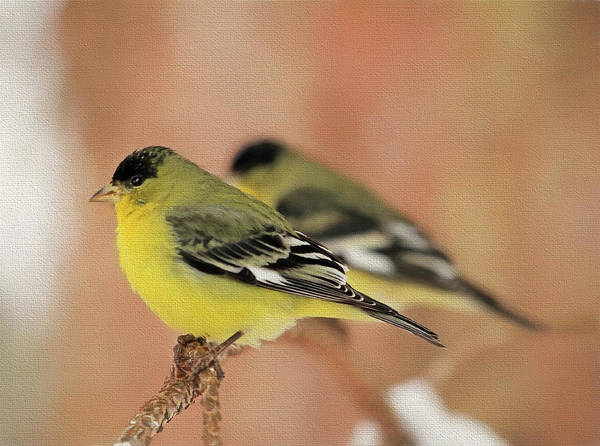 Finch Photograph - Mirror Image by Donna Kennedy