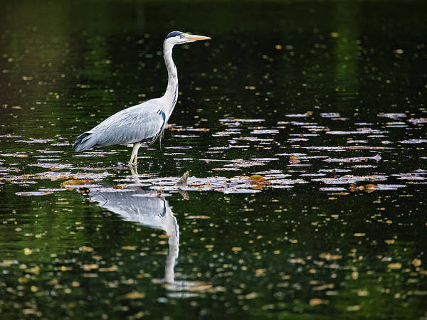 Photograph - Mirrored Heron by Stefan Nielsen