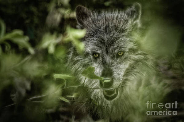 Photograph - Mischievous Wolf by Brad Allen Fine Art