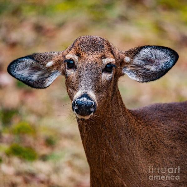 Photograph - Miss Deer 1 by Buddy Morrison