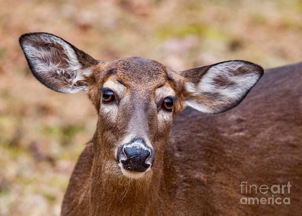Photograph - Miss Deer by Buddy Morrison