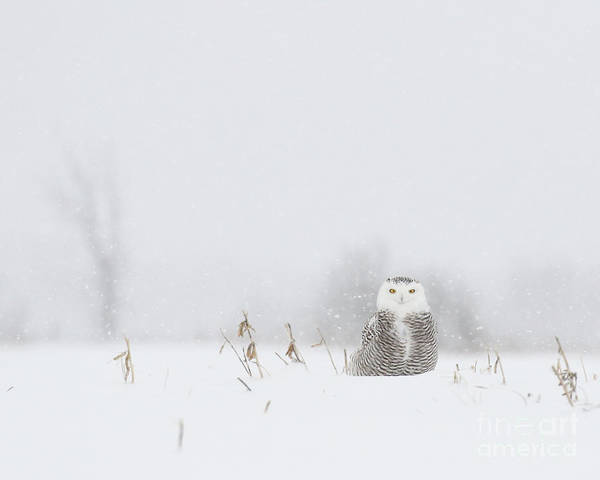 Wall Art - Photograph - Miss Snowy Owl And Her Snowflakes by Heather King
