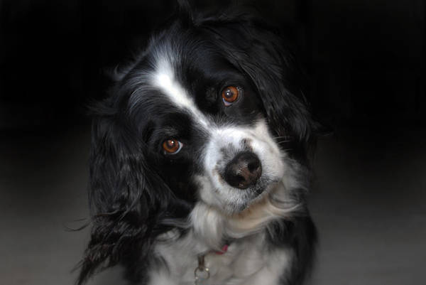 Spaniel Photograph - Missy by Skip Willits