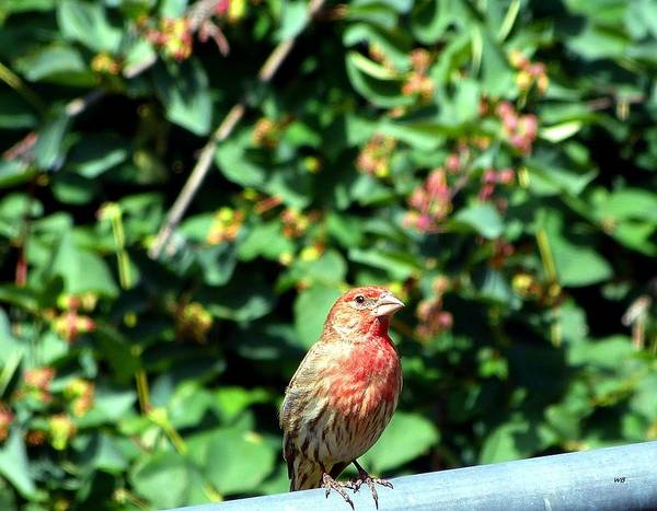 House Finch Photograph - Mister Finch by Will Borden