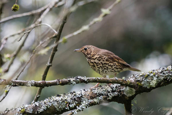 Photograph - Mistle Thrush by Wendy Cooper