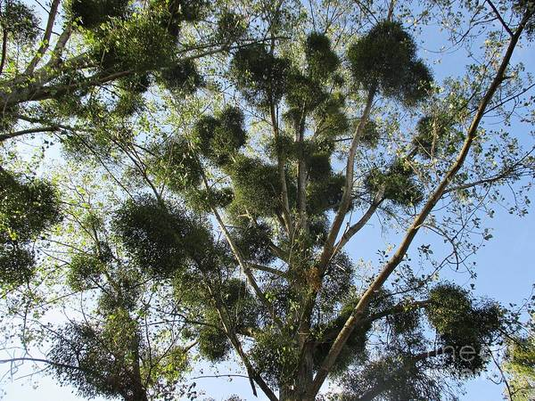 Photograph - Mistletoe On Trees In Coswig by Chani Demuijlder