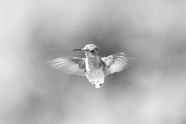 Hummingbird Wings Photograph - Misty Morning Hummingbird by Betsy Knapp
