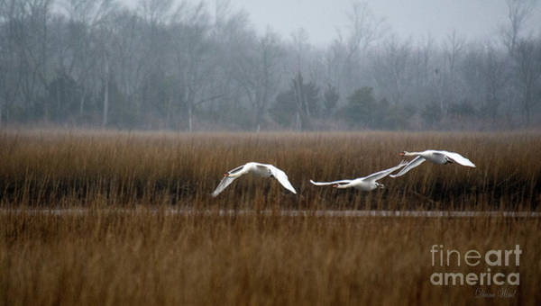 Wall Art - Photograph - Misty Mute Swans Soaring South Jersey Wetlands by Diana Wind