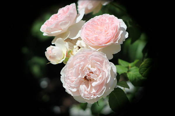 Photograph - Misty Pink Cabbage Roses Vignette by Colleen Cornelius