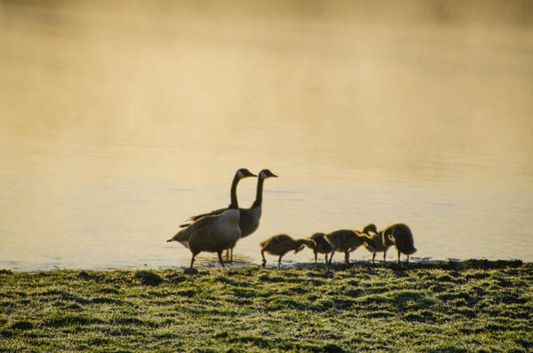 Photograph - Misty Pond And A Geese Family by Bill Cannon