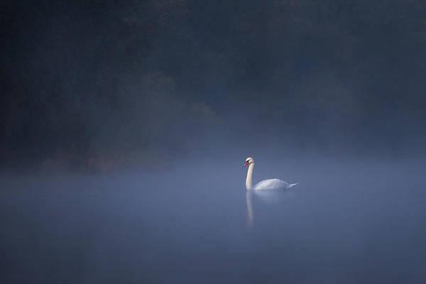 Misty River Swan Art Print