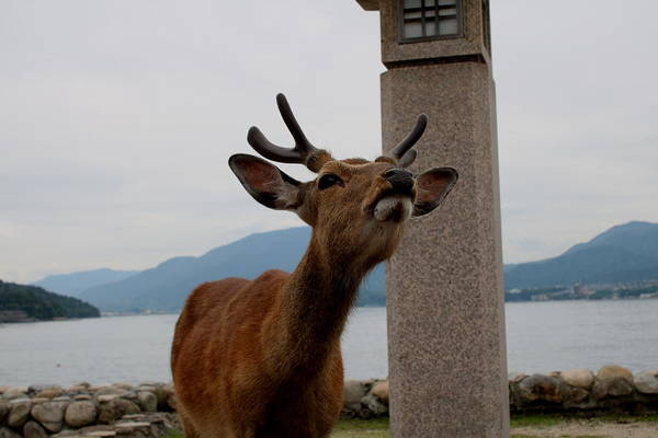 Photograph - Miyajima Deer by Perggals - Stacey Turner