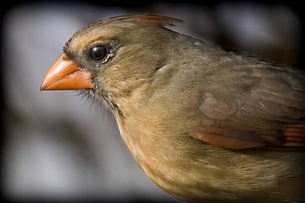 Photograph - Miz Red Bird by Patricia Montgomery