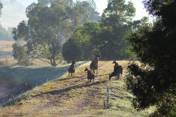 Photograph - Mob Of Kangaroos Yarra Glen 29-03-2015 by Bert Ernie
