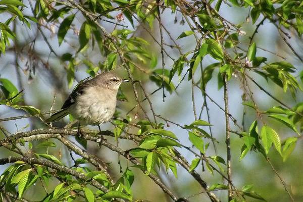 Photograph - Mocking Bird Enjoying The Sun by John Benedict