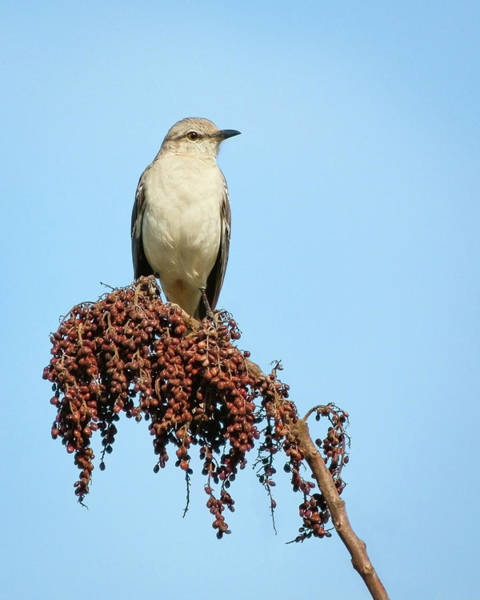 Photograph - Mockingbird At Rest by Dawn Currie