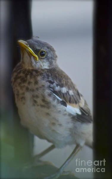 Tweets Photograph - Mockingbird Chick by Gwyn Newcombe