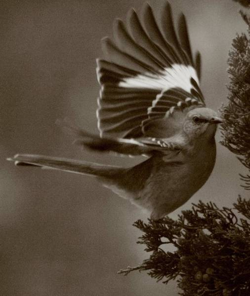 Mockingbird Photograph - Mockingbird In A Pine by Christopher Kirby