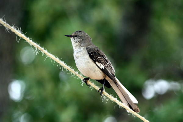 Photograph - Mockingbird On Rope by Sheila Brown