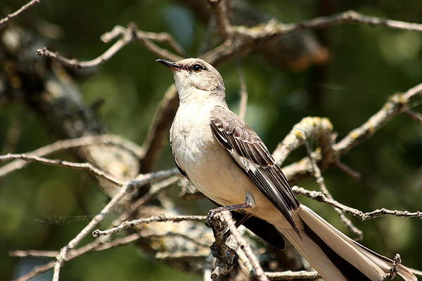 Photograph - Mockingbird  by Sheila Brown