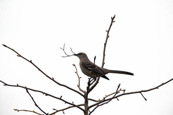 Photograph - Mockingbird With Twig by Allen Nice-Webb