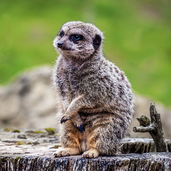 Photograph - Model Meerkat by Nick Bywater