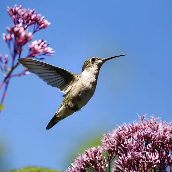 Photograph - Modern Beauty Hummingbird Square by Christina Rollo