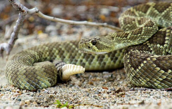 Wall Art - Photograph - Mohave Green Rattlesnake Striking Position 5 by Bob Christopher