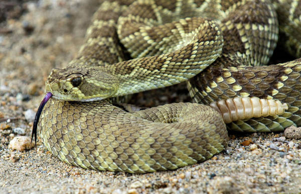 Wall Art - Photograph - Mohave Green Rattlesnake Striking Position 6 by Bob Christopher