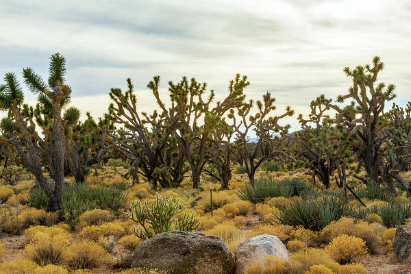 Photograph - Mohave Joshua Trees Forest by Bonnie Follett