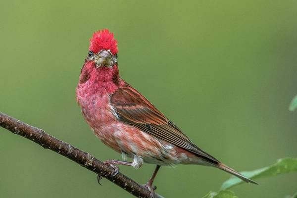 House Finch Photograph - Mohawk Finch by Paul Freidlund
