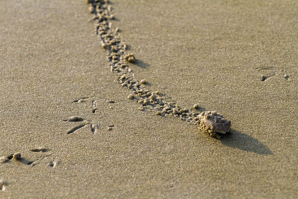 Photograph - Mole Crab On The Move by Liza Eckardt