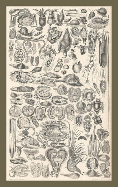 Wall Art - Drawing - Mollusca by Dreyer Wildlife Print Collections