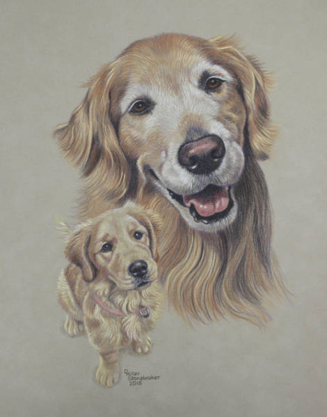 Golden Retriever Drawing - Molly Before And After by Debbie Stonebraker