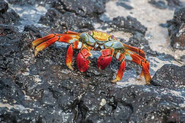 Photograph - Sally Lightfoot Crab Or Zayapa by NaturesPix