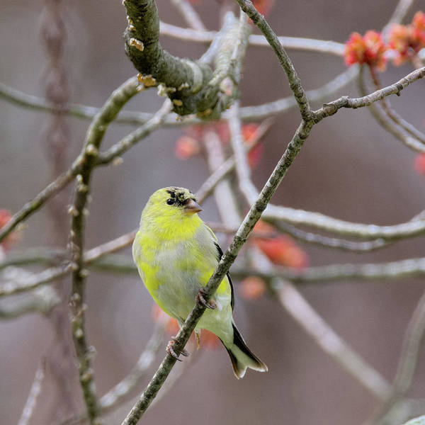 Photograph - Molting Gold Finch Square by Bill Wakeley