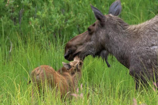 Mom And Baby Moose Art Print