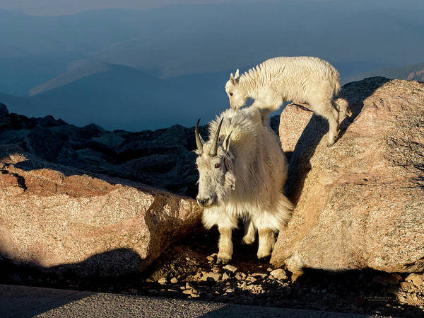 Photograph - Mom And Baby Mountain Goat by Judi Dressler