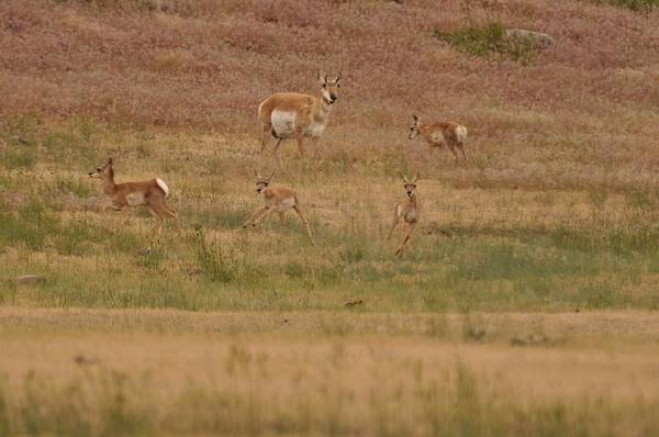 Photograph - Mom Keeping A Watchful Eye On The Fawns by Frank Madia