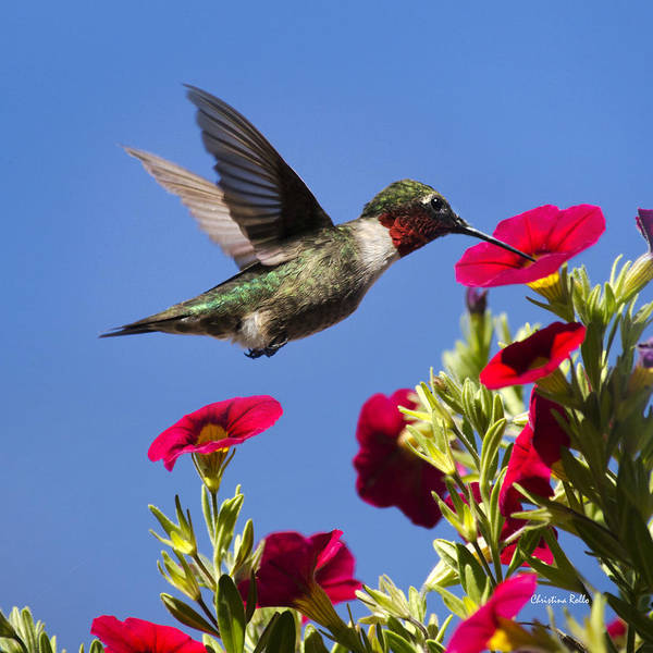 Wall Art - Photograph - Moment Of Joy Hummingbird Square by Christina Rollo