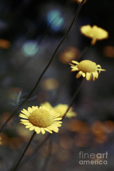 Daisy Flower Photograph - Momentum by Aimelle