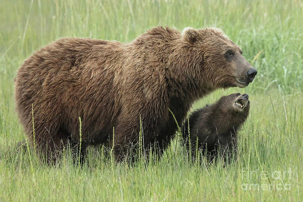 Dancing Bears Photograph - Momma Bear With First Year Cub by Linda D Lester