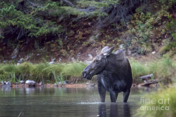Photograph - Momma Moose At Fishercap Lake by Jemmy Archer