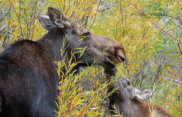 Photograph - Momma Moose by Mike Fitzgerald